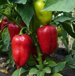 Выращивание рассады сладкого перца с пересадкой в открытый грунт