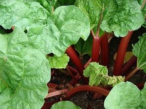 Выращивание ревеня даст первые витамины