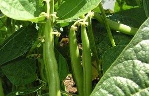 Выращивание стручковой фасоли на даче, посадка семян и уход