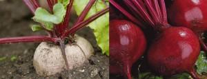 Выращивание свеклы и уход за ней
