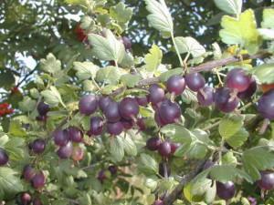 Йошта – отзыв садовода и особенности выращивания