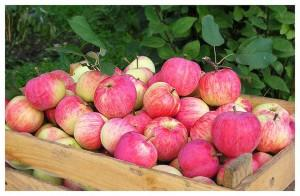 Заболевание плодов: Джонатановая пятнистость