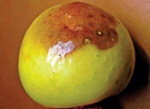Загар кожицы плодов яблок