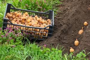 Посадка картофеля - дело ответственное