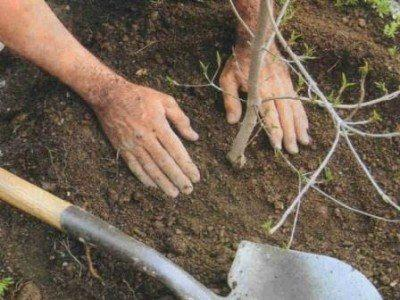 Правила посадки саженцев деревьев