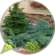 Как ухаживать за хвойными деревьями и кустарниками в саду