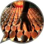 Как правильно отобрать и хранить яйца для инкубации