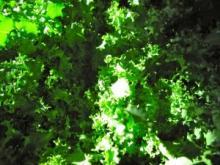 Цикорий-эндивий