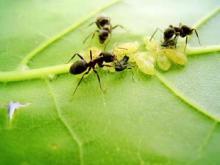 Как бороться с муравьями на участке и уничтожить муравейник, видео