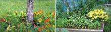 Какие растения отпугивают комаров, мух и других вредителей