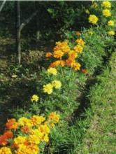 Композиции цветов из бархатцев, или тагетес в саду