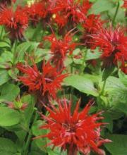 Композиции из цветов монарды в саду