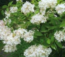 Композиции в саду из цветов гортензии метельчатой