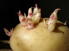 Норма посадки картофеля. Расчет