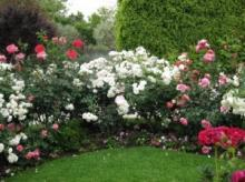 Описание сортов роз для живой изгороди