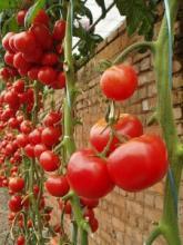Высокорослые томаты. Нужно ли пасынкование?