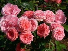 Выращиваем розы флорибунда
