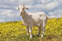 Если вы решили завести козу