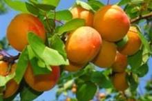 Выращиваем абрикосы