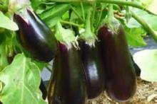 Выращиваем баклажаны