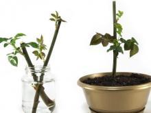 Как просто вырастить розу из черенка