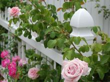Секреты выращивания роз