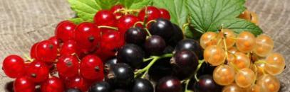 Отличия в посадке и уходе красной, белой и черной смородины